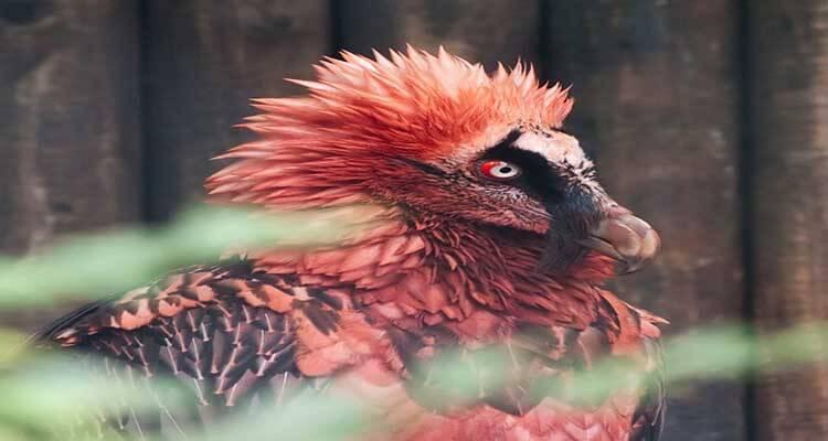 Bearded-Vulture